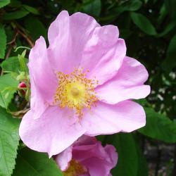 Гидролат Розы
