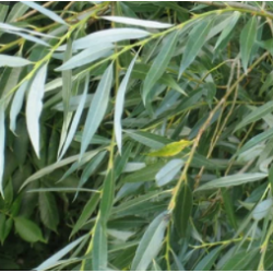 CO2 экстракт коры ивы