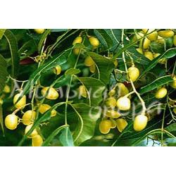 Базовое масло твердое Дерева Ним (Маргоза)
